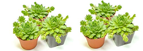 Hen and Chicks Succulents (3 Pack) Live Sempervivum Houseleek Succulent Rooted in Planter Pots | Flowering Geometric Rosette Plant by Plants for Pets (Twо Расk)