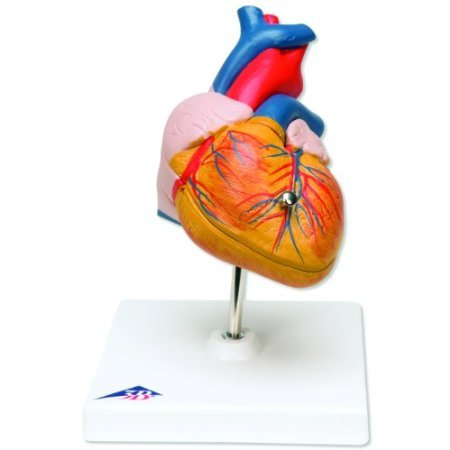 7.5' Heart (3B Scientific G08 2 Part Classic Heart Model, 7.5' x 4.7' x 4.7')