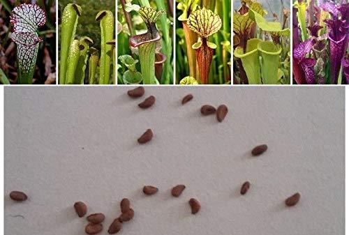 RETS Seeds (10) Sarracenia, Carnivorous, Mix Natural Breeding + Guide