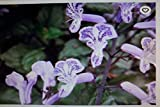 HIGH Germination Seeds:Plectranthus Mona Lavender Seed Purpleing Live Starter