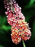"""Bicolor Butterfly Bush - Buddleia - NEW - Quite Distinct - 4"""" Pot"""