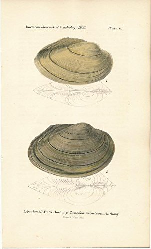 (Shells plate 6 1866 Philadelphia original antique conch shell color print)