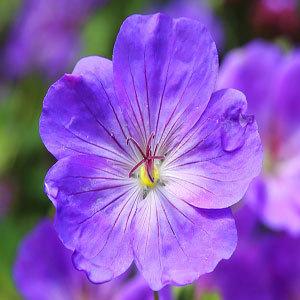 Violet Jackson