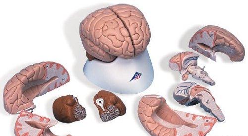 3B社 脳模型 脳8分解モデル (c17)   B003Z2Q6OE