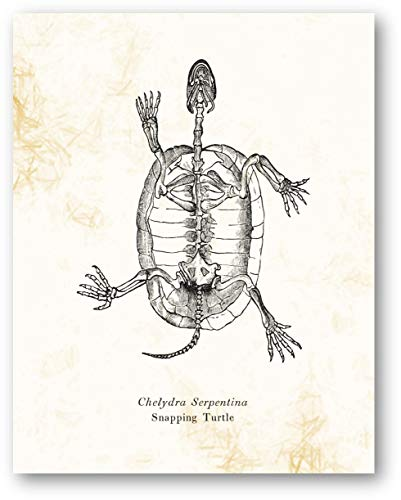 Chelydra Serpentina Snapping Turtle Animal Skeleton Vintage Drawing - Living Room, Office, Bedroom Decor - Cabin Artwork - 11 x 14 Unframed Print - Great Gift for Reptile Lovers, Zoologist, Biologist
