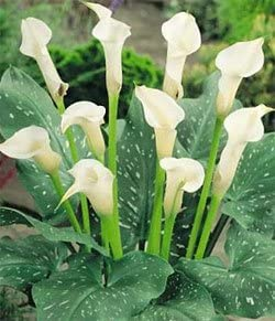 Amazon Com Calla Lily Albomaculata White 3 Bulb Flowering