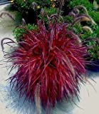 Pennisetum setaceum | Purple Fountain Grass Fireworks | 20_Seeds
