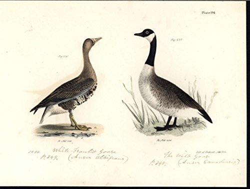 - White Fronted Canadian Goose 1842 antique color lithograph print