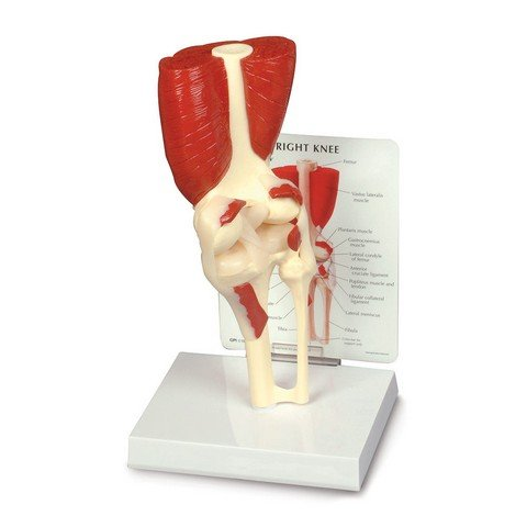 - Lippincott Williams & Wilkins ANA01N Muscled Knee Joint Model