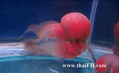 Buy live flowerhorn fish