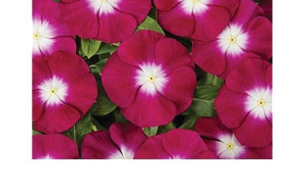 Vinca Seeds Sunsplash Burgundy 50 Seeds