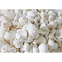 "White Wedding Seashells - Large 1""-3"" each (100 Shells)"