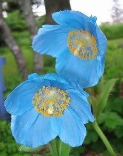 10 HIMALAYAN BLUE POPPY (Tibetan) Meconopsis Betonicifolia Flower ()