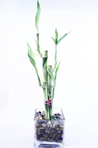 (Athena's Garden Live Lucky Bamboo Arrangement Cube Glass Vase Polished Rocks, One Size Green/Red/White)