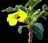 Uncarina peltata Exotic Rare Flower Caudex Bonsai Rare Succulents Seed 50 Seeds