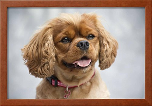 - OKSLO Cavalier King Charles Spaniel Framed Photographic Print Wall Art By Ron Dahlquis