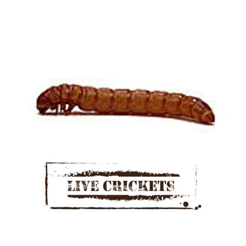 Live Mealworms (500, Large)