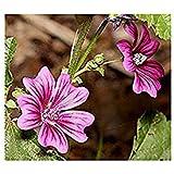 Quirl-Malve - Gemüse-Malve - Malva verticillata - Blume - 1000 Samen