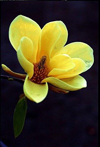 Amazon magnolia acuminata yellow flower rare tropical magnolia acuminata yellow flower rare tropical plant tree seeds 5 mightylinksfo