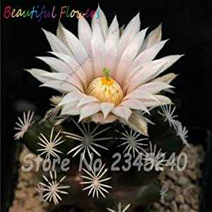 New Fresh Seeds 100Pcs Cactus Seeds Blooming Flower Succulent Plants,Rare Meaty Plant Seeds,Bonsai Plants for Home & Garden