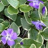 Vinca major variegata