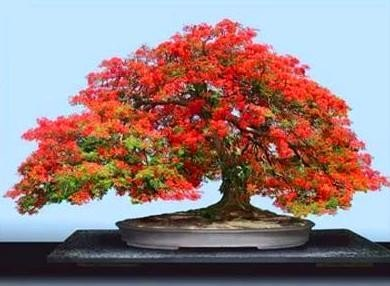 Creative Farmer Gulmohar Bonsai Suitable Seeds