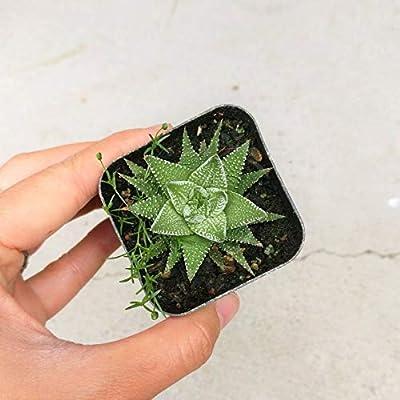 Haworthia Zebra Plant White Stripe Aloe Spiky Indoor Plant (2