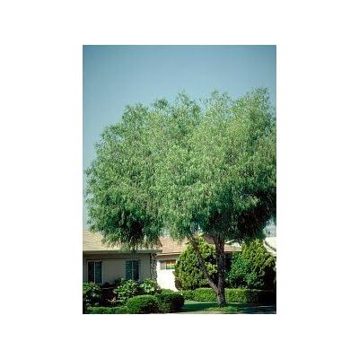 Globe Willow Tree - 2 Year Old : Garden & Outdoor