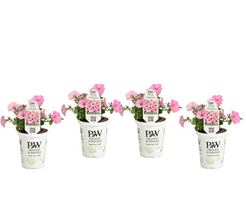 Proven Winners SUPPRW4007524 Petunia Supertunia Vista Bubblegum, Live Plant, 4-pack 4.25 in. Grande, Pink Flowers ()