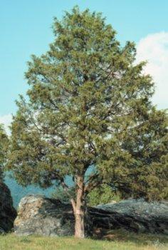 The Dirty Gardener Juniperus Virginiana Eastern Red Cedar Tree