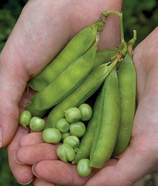 Lincoln Shell Pea Garden 25 seeds Easy Grow Non-Gmo - Shell Pea