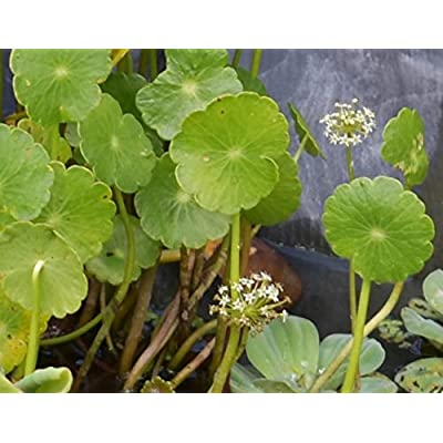 5 Water Pennywort Bog or Shoreline Water Garden Pond Plant - Nursery Grown in Aquatics Plants Nursery : Garden & Outdoor