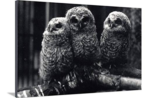 - ArtEdge Three Young Tawny Owls Sit on a Branch by Frederick William Bond, Stretched Canvas Print, 54 x 36 in