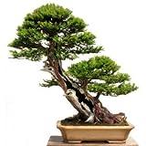15 Seeds Taxus Baccata Tree (English Yew Seeds) Bonsai