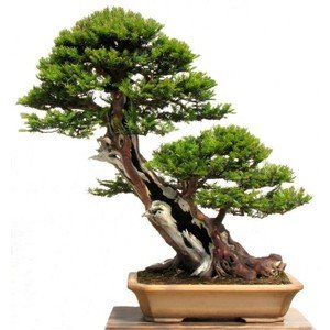 Yew Bonsai (15 Seeds Taxus Baccata Tree (English Yew Seeds) Bonsai)
