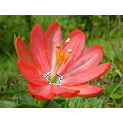 Passiflora mixta | Curuba | Curuba de Indio & Monte | Palta | 5_Seeds : Garden & Outdoor