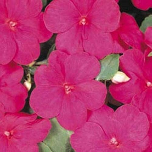 Impatiens Accent - Impatiens Accent Series Lilac Annual Seeds