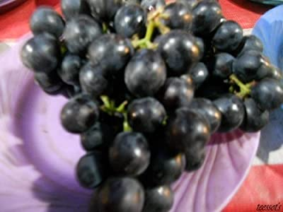 5 GIANT BLACK GLOBE GRAPE SEEDS Vitis Fruit Vine Seeds *Comb S/H