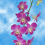 #6: GlobalRose 70 Lisa Dendrobium Orchids- Lilac Fresh Flowers- Perfect For Birthdays, Weddings and Holidays