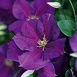 Clematis 'JACKMANII SUPERBA' Perennial Plant Vine