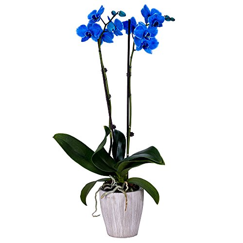 - DecoBlooms Living Blue Orchid Plant - 5 inch Blooms - Fresh Flowering Home Décor