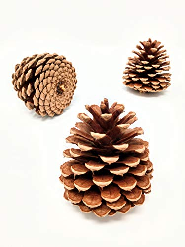 Unscented Pine Cones Large for Crafts - 12 Pinecones Bulk - Natural Ponderosa Pine Cone!