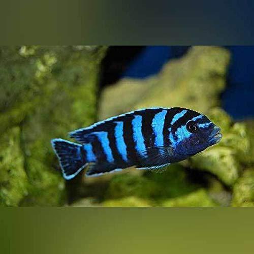 (Demasoni Cichlid - Live Aquarium Tropical Fish)