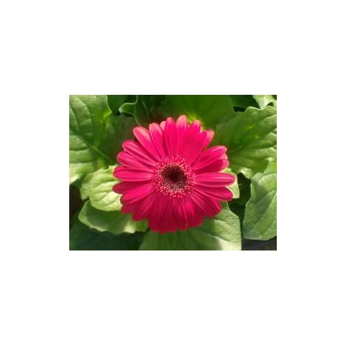 "Wholesale (AGERR)~""ROYAL DEEP ROSE"" GERBERA DAISY~Seed!!~~~~~~~Wild Little Beauty!! hot sale"