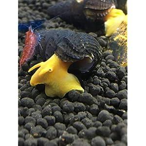 Awesome Aquatics 5 Orange Poso Sulawesi Rabbit Snails Tylomelania Live Freshwater Snail 22