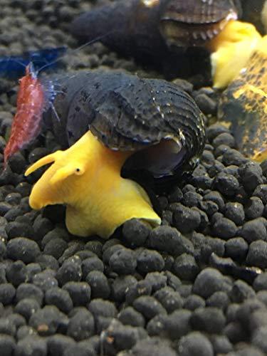 Awesome Aquatics 5 Orange Poso Sulawesi Rabbit Snails Tylomelania Live Freshwater Snail (Best Snails For Freshwater Aquarium)