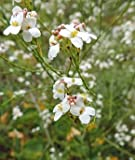 10 Seeds Crambe pritzelii Small Perennial Flower