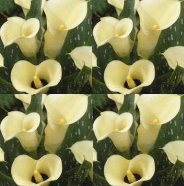 Amazon Com Calla Lily Black Eyed Beauty 3 Bulbs Ideal For