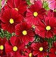 Indian Gardening Red Dazzler Cosmos Bipinnatus Flower Seeds 20 Seeds