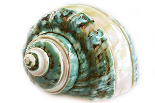 Large Polished Pearl Banded Jade Turbo (4-4 1/2'') 2'' opening Beach Crafts Nautical Decor Large Hermit Crabs - Florida Shells and Gifts by Florida Shells and Gifts Inc.